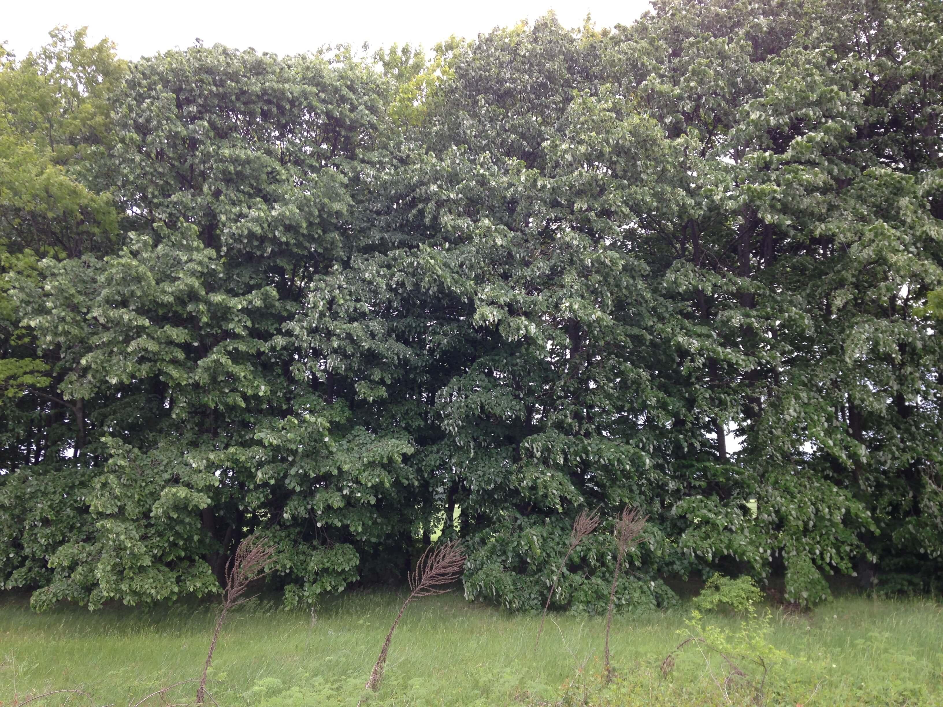 Защитни горски пояси в Балчик
